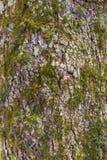 生苔树皮 免版税库存照片