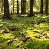 生苔森林地板 免版税库存照片