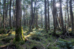 生苔森林 免版税库存图片