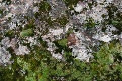 生苔石纹理 免版税库存图片