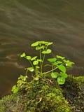生苔砂岩冰砾在山河中水。  免版税库存图片