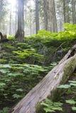 生苔被摧毁的老树在森林里 免版税库存图片