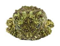 生苔青蛙, Theloderma corticale,亦称越南Mos 库存照片