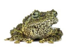 生苔青蛙, Theloderma corticale,亦称越南Mos 免版税库存照片