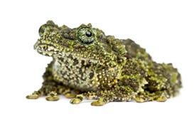 生苔青蛙, Theloderma corticale,亦称越南Mos 免版税图库摄影