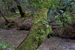 生苔结构树 图库摄影