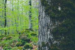 生苔thee树干特写镜头,在背景的神秘的松木 库存照片