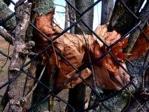 生锈烘干在篱芭后被困住的叶子 免版税图库摄影