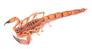 生锈的厚实的尾巴蝎子 免版税库存照片