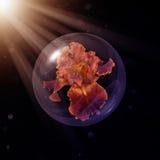 生锈的在玻璃地球的别动队员有胡子的虹膜 免版税图库摄影