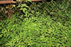 生锈的布什树 库存照片