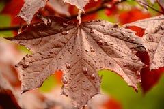 生锈的槭树 库存照片