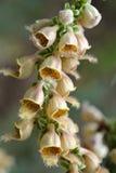 生锈的毛地黄属植物关闭 免版税图库摄影
