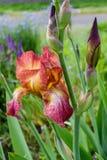 生锈的虹膜花茎  免版税图库摄影
