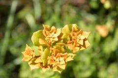 生锈的Lyonia & x28特写镜头; Lyonia ferruginea& x29; 库存图片