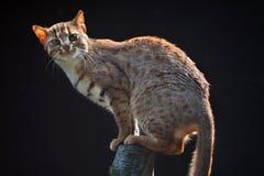 生锈被察觉的猫(Prionailurus rubiginosus phillipsi) 免版税库存图片