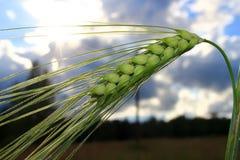 生长与阳光的麦子在背景中 图库摄影