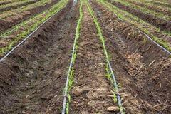 生长与水滴灌溉的麦地 库存照片