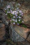 生长从岩石的野花 库存图片