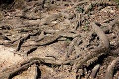 生长以各种各样的方向的多可看见的被暴露的树根报道用土和小履带牵引装置植物 库存照片