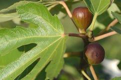 生长作为房子植物的盆的黑无花果Ficus Carica `使命` 库存图片