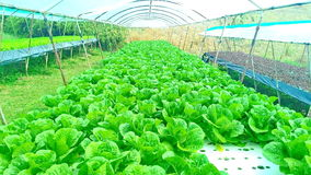 生长使用矿物营养液的植物水栽法方法,在水中,没有土壤 免版税库存图片