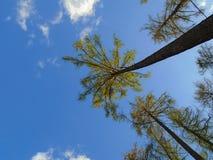 生长入天空的树 图库摄影