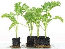 生长入立方体的圆白菜幼木 库存图片