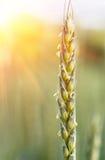 生长和成熟在领域的开花的耳朵麦子 库存图片