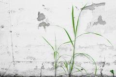 生长和climbling在难看的东西白色墙壁上的绿色小树 免版税库存照片