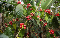 生长咖啡樱桃 图库摄影