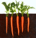 生长土壤的红萝卜 免版税库存图片