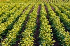 生长土豆 免版税库存图片