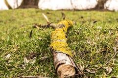 生长在一个下落的树枝的青苔 免版税库存照片