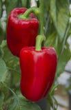 生长在一个农业农场的红色辣椒粉 库存图片