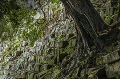 生长在一个古老玛雅楼梯外面的树 库存图片