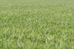 生长在一个培养的领域的绿色谷物 库存照片
