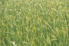 生长在一个培养的领域的绿色谷物 免版税库存照片