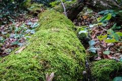 生长在一个大树干的绿色青苔 模糊的森林背景 在地面上的秋叶 低天使特写镜头射击 免版税图库摄影