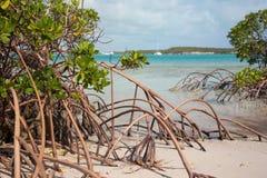 生长在一个巴哈马群岛的海岛的岸的美洲红树 图库摄影