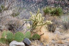 生长在一个干燥沙漠峡谷的绿色仙人掌 库存图片