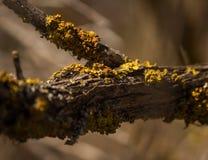 生长在一个年迈的树枝的黄色青苔 库存照片