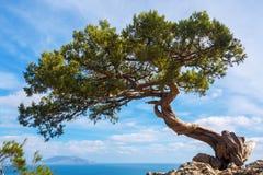 生长在一个悬崖上的峭壁的杉木在一个晴天 免版税图库摄影