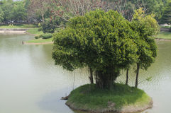 生长在一个海岛上的榕树在湖 免版税库存照片
