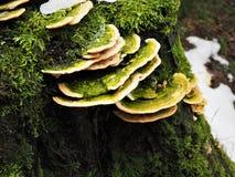 生长在一个生苔树桩的绿色和黄色真菌 免版税库存照片