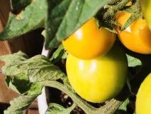生长在一个白色罐的未加工的西红柿 库存图片