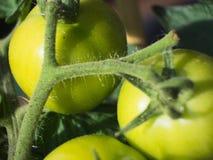 生长在一个白色罐的未加工的西红柿 库存照片