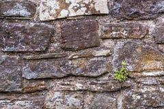 生长在一个石墙上的植物 免版税图库摄影