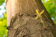 生长在一个结构树的新的分行在春天。 免版税库存照片