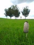 生长在一个绿色领域的律师的假发共同的真菌/蘑菇 免版税库存图片
